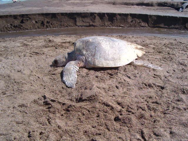 sea-turtles-costa-rica-06