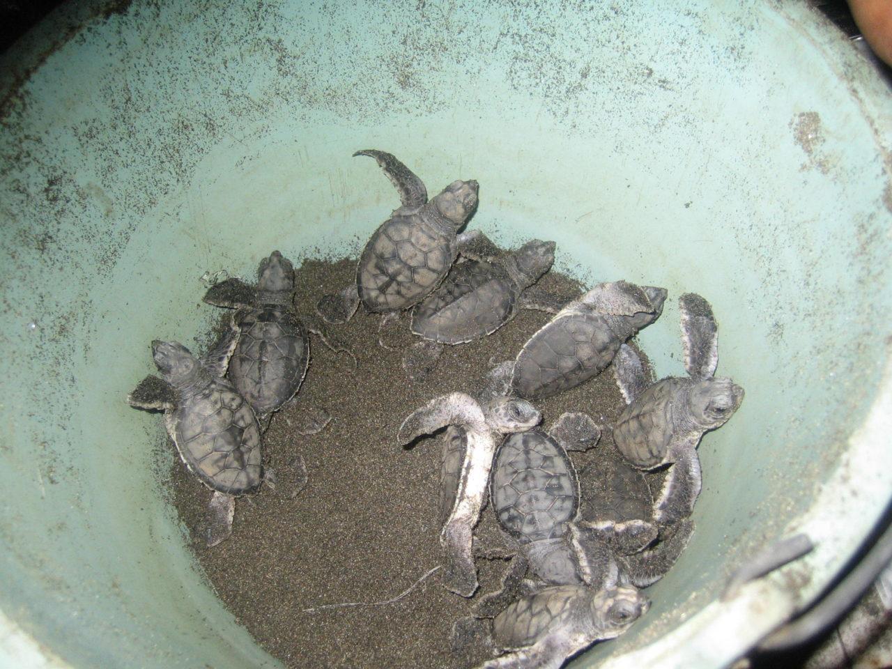 sea-turtles-costa-rica-18