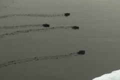 sea-turtles-costa-rica-03