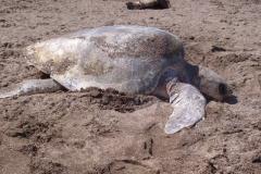 sea-turtles-costa-rica-04