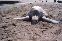 sea-turtles-costa-rica-05