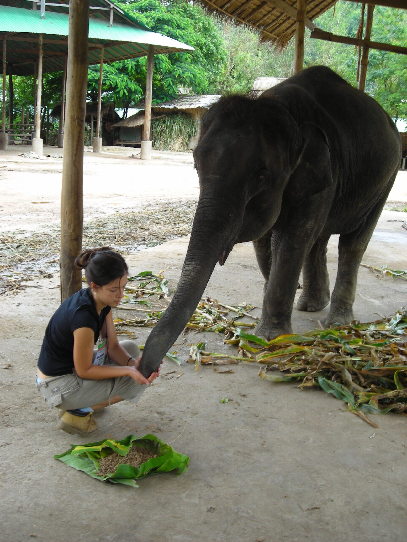 Thailand Elephant Camp Chiang Mai Feeding